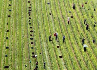 164006_vendanges-a-mongueux-en-champagne-le-13-septembre-2010